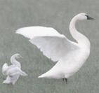 geese mentor.png