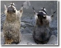 Raccoon clapping