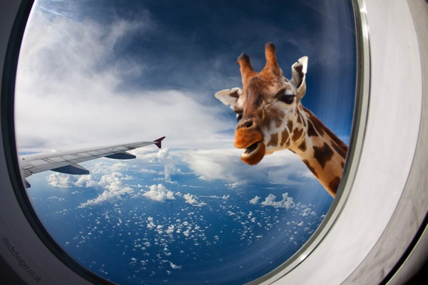 Giraffe airplane hero